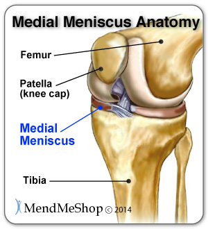 Knee joint, medial meniscus anatomy